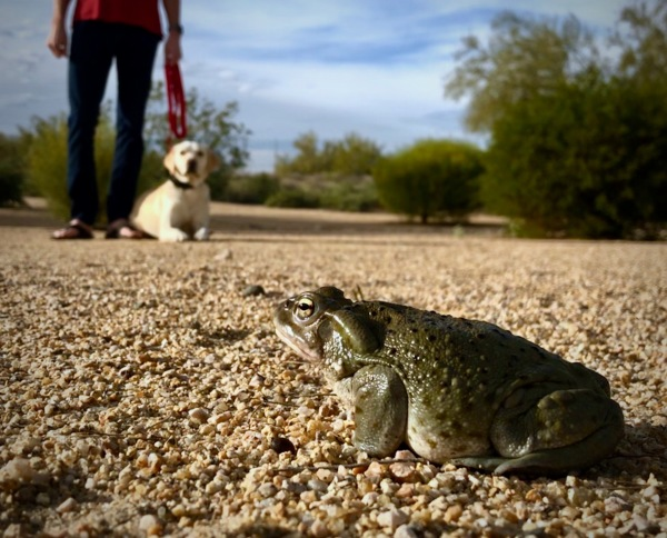toad with dog in background on leash